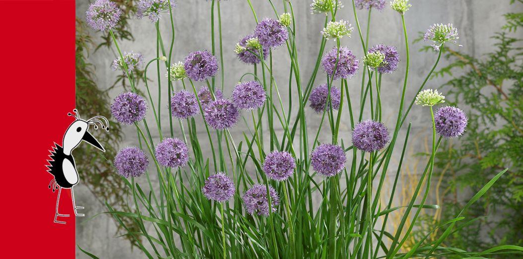 Prudac Alliums